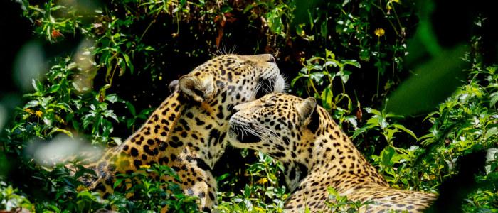 Jaguar mexique