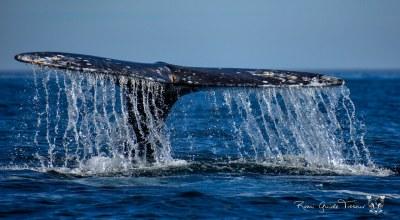 Baleine Bleue Basse Californie Mexique