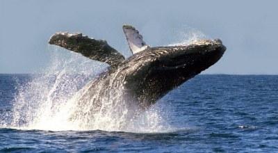 Baleine grise Guerrero Negro Mexique