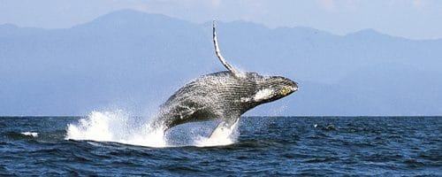 Baleine Puerto Vallarta Mexique