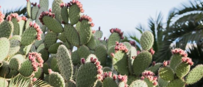 Cactus Mexique