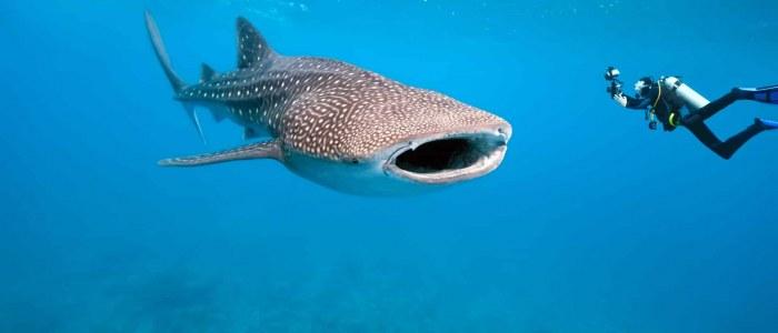 Requin Baleine Caraibes