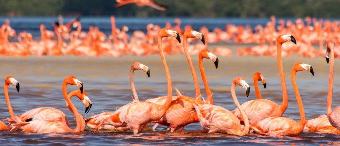 Flamand rose Mexique