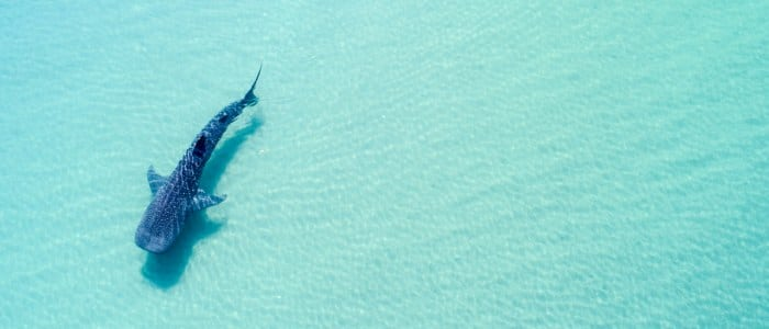Requin Baleine Basse Californie Mexique