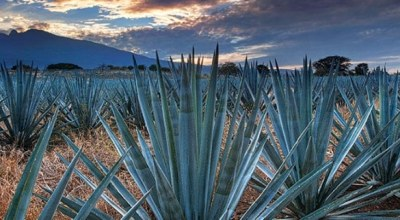 Mexique Decouverte Tequila Agave