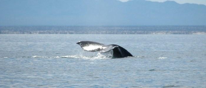 baleine Mexique Decouverte