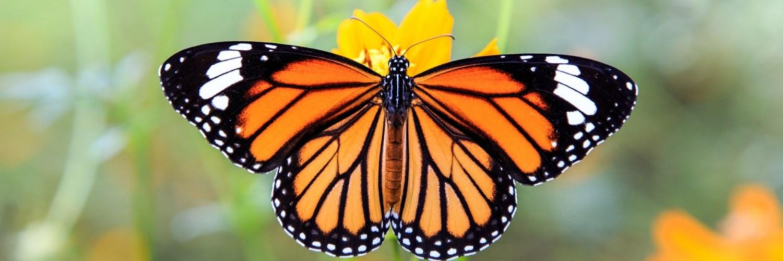 papillon_monarque