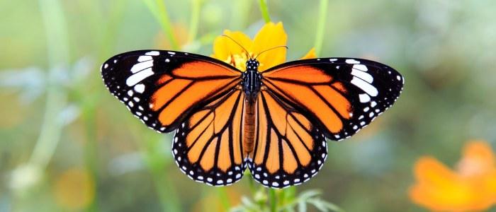 Papillon Monarque Mexique