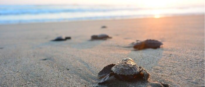 Naissance tortue Pacifique Mexique