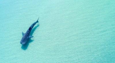 requin_baleine_ocean