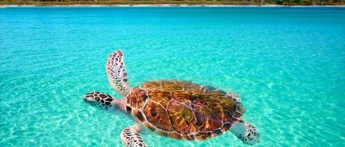 Tortue Yucatan Mexique